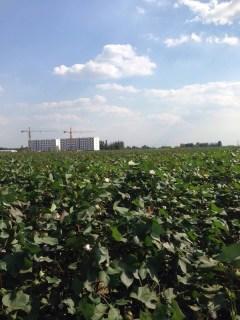 WX1056邢台威县1000亩水浇地出租