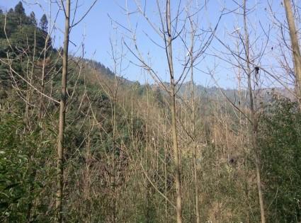 四川成都大邑县300亩有林地转让