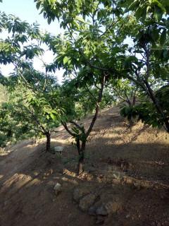 唐山迁西县300亩板栗树园转租、合作