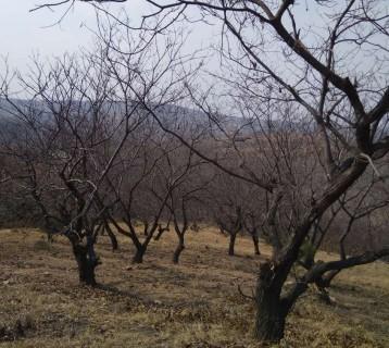 (301)青岛黄岛区胶南1200亩山林地转让
