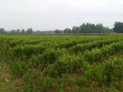 咸宁  赤壁 260亩 茶园 出租