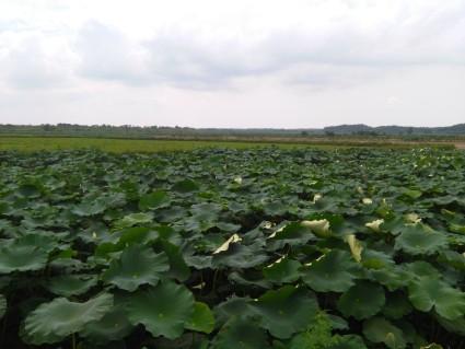 咸宁赤壁1500亩水田+藕塘+池塘出租