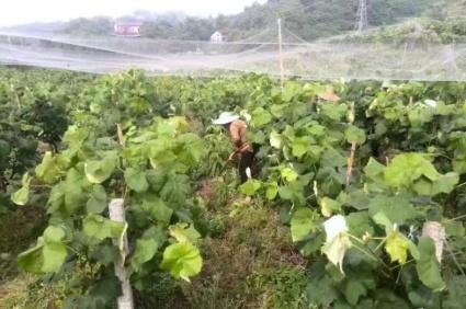 重庆璧山区 66亩 果园 转让