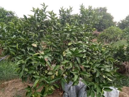 重庆九龙坡区10亩果园转让