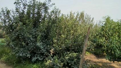 (495)青岛黄岛区10亩果园转让