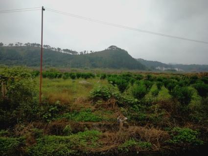 梧州龙圩区120亩果园出租