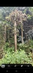 惠州龙门县3700亩桉树杉树林转让