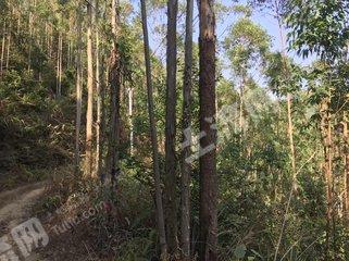 广东/茂名/信宜市1225亩有林地转让