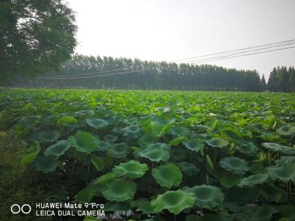 滁州南谯区110亩坑塘出租 场地全部整理好了 入场就可养殖 水电路三通