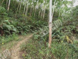 莆田仙游縣700畝有林地出租