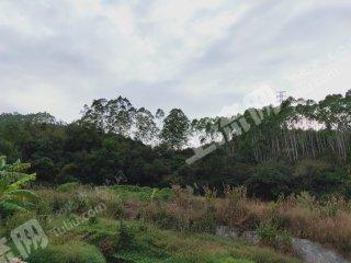 莆田仙游縣100畝有林地轉讓