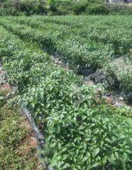 資陽市樂至縣130畝農場轉讓