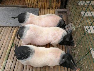 徐州邳州市100畝養殖用地出租 養豬,山羊,雞鴨鵝都可以