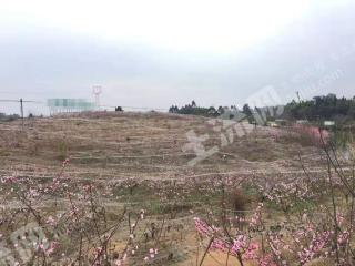 安州區56畝桃樹采摘園托管出租
